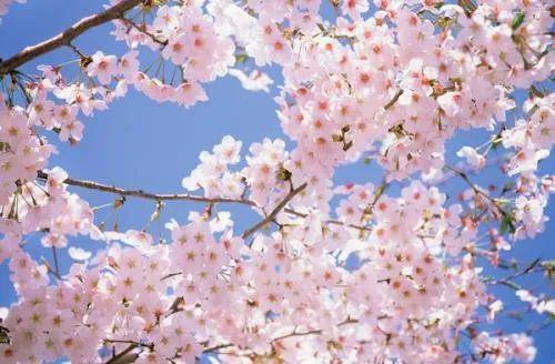 玩乐足迹▲@所有人!清镇市红枫湖畔樱花园禁止入园观赏