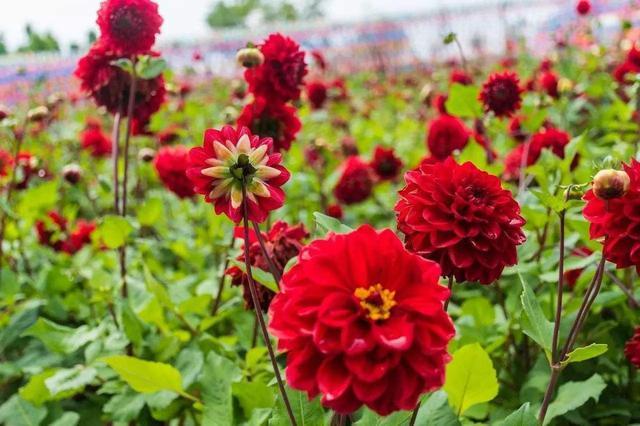 『新家大变样』大丽花开花比月季大,花型似菊花,块茎如地瓜,实在令人炫目