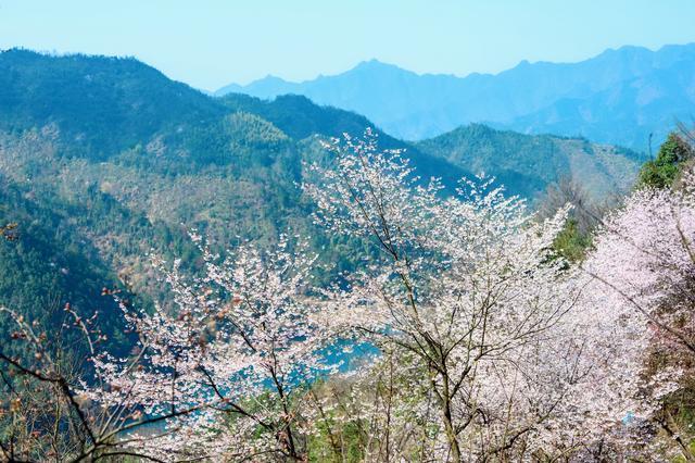 #约吗旅行#野樱花开满山的三月,我们一起去桐庐,看一场浪漫的樱花雨