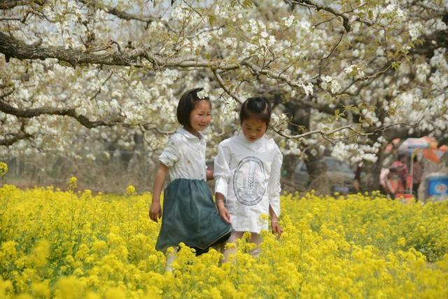 「世界那么大」再过些日子,砀山县黄河故道,忽如一夜春风来,千树万树梨花开
