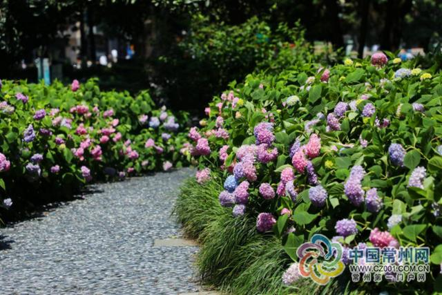 「中国江苏网」花团锦簇绣球来,穿紫披粉凝雅艳