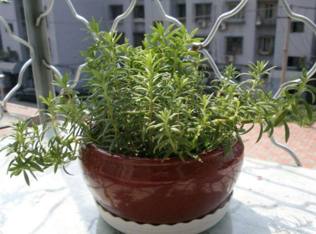 「最爱家装」这种杂草叫垂盆草,是一种能够开花的多肉,适应能力强、好养活
