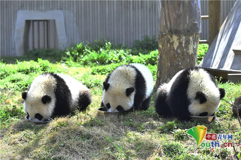 """熊猫宝宝在""""幼儿园""""里卖萌撒欢"""