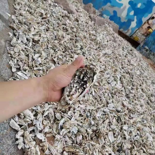 台风过后青岛海滩上全是海鲜 民众一铲一麻袋