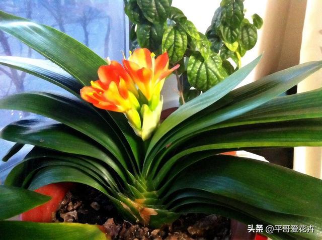 """#家居那点事#这3种花就喜欢喝""""酸酸水"""",1个月喂2次,叶片油绿,花大色艳!"""